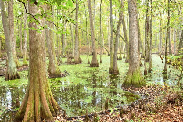 Baldcypress trees in swamp