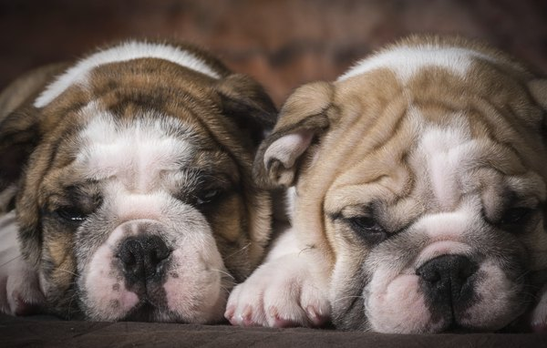 Miniature bulldog's small size and low energy make them ideal apartment pets.