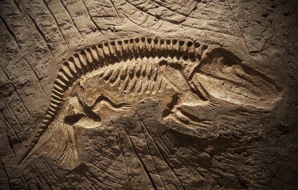 A dinosaur fossil.