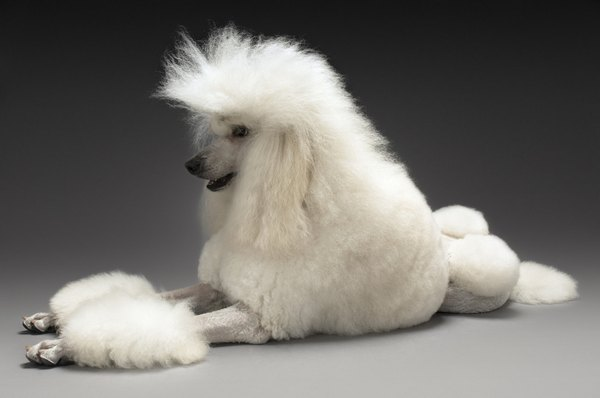 Royal poodles are large standards with a fancy name.