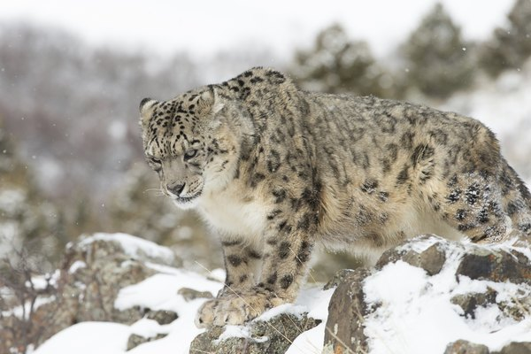 Snow leopards make their homes here.