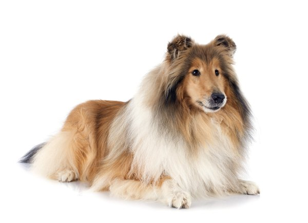 The Scottish or rough collie is a dog of great intelligence and presence.