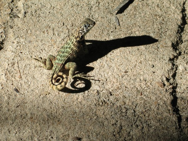 The shadow of a lizard sitting on a rock.