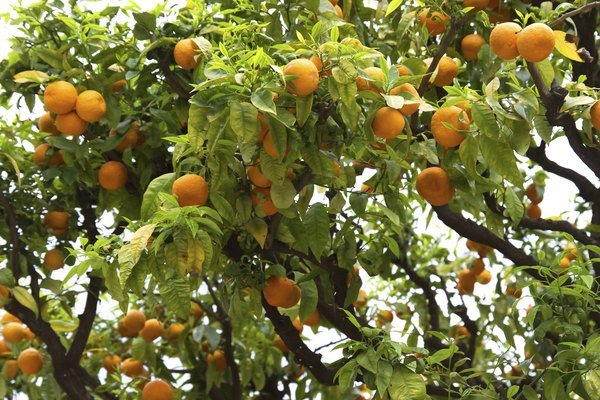 oranges in Nice along France's Mediterranean coast