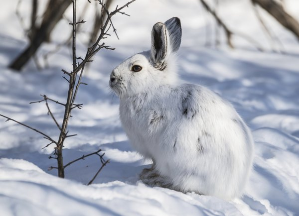 A snowshoe hare sitting on the white snow.