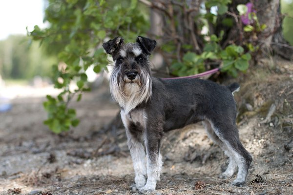 The miniature schnauzer: the dog with the beard and bushy eyebrows.
