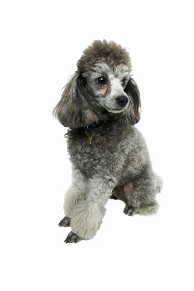 Types Of Haircuts For A Toy Poodle Pets
