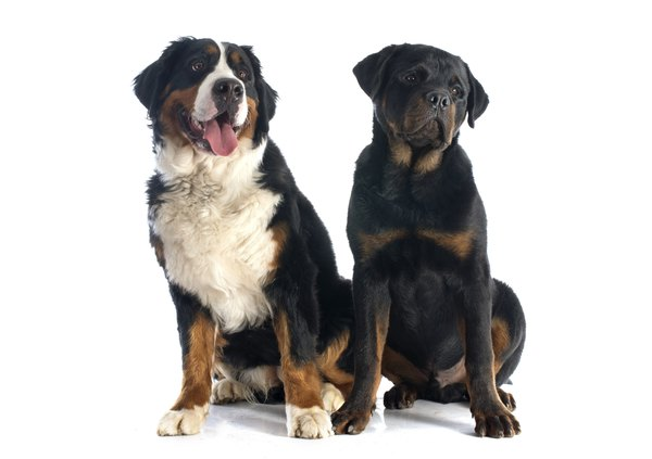 Bernese mountain dogs and Rottweilers both worked as drover dogs in ancient times.