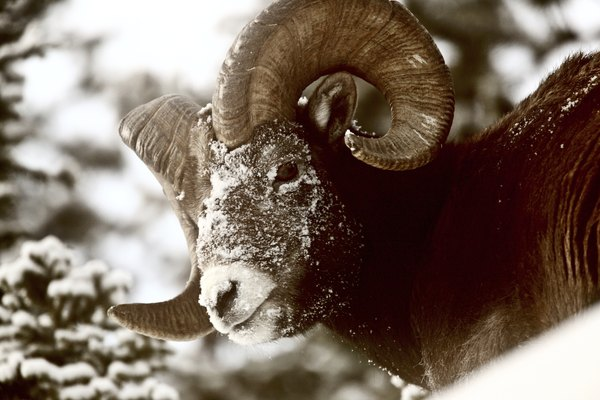 Like humans, bighorn sheep are sometimes killed in avalanches.