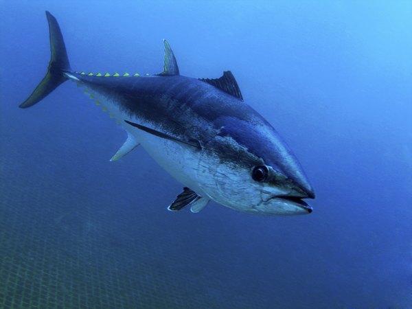 Tuna are big, active, warm-blooded pelagic fish.