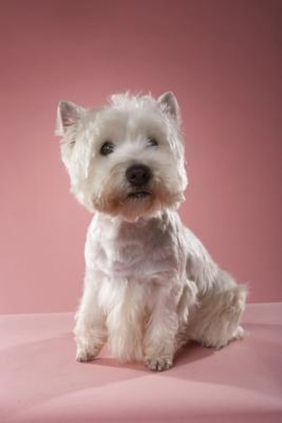 Haircuts For Westie Dogs Pets