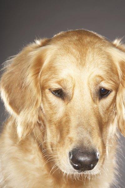 Degenerative Myelopathy In Golden Retriever Dogs Pets