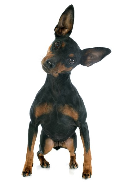 Despite his diminutive stature, the miniature pinscher has more spirit and attitude than many large dogs.