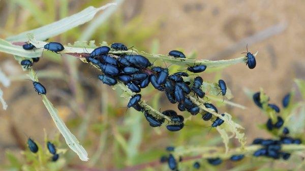Many black flea beetles on plant