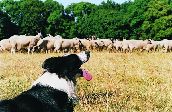 Border collie collapse occurs most often in working dogs.