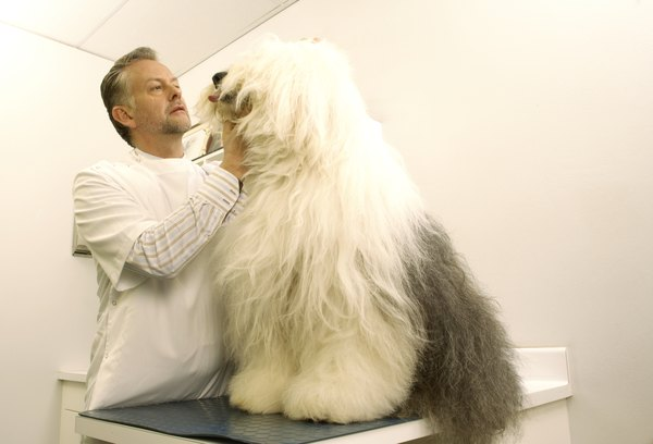 A veterinarian's physical examination can determine a male dog's prostate health.