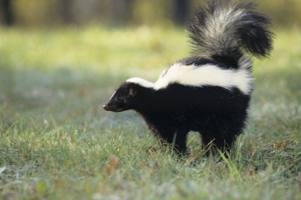 Skunks are known to carry rabies.