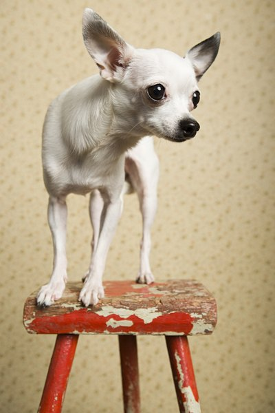 Chihuahuas are members of the toy breed.