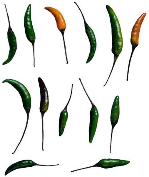 How to Grow Thai Dragon Pepper Plants Indoors | Home Guides