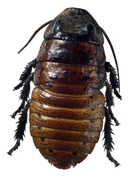 Cockroaches are wingless until adulthood.
