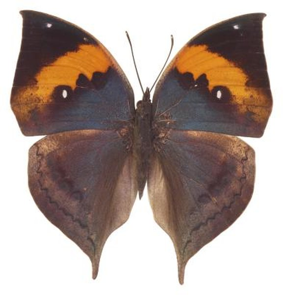 Facts About the Indian Leaf Butterfly   Animals - mom me
