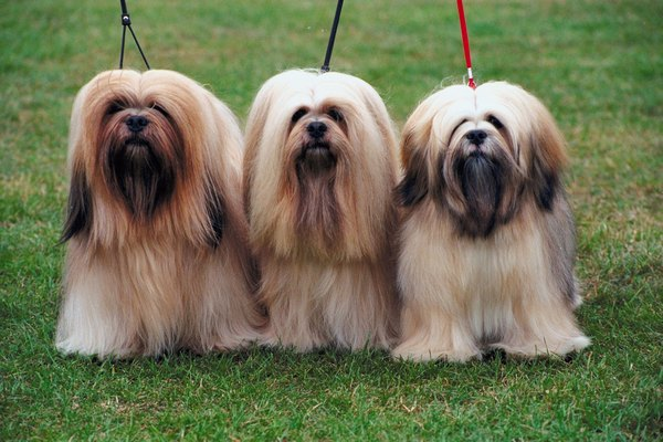 Style The Lhasa Apso S Long Bangs Around Eyes To Ist Their Eyelashes In Protecting