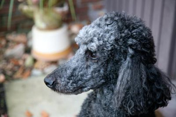 Hair Loss In Poodles Pets