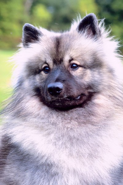 The German spitz has a variety of coat colors, including white, brown, orange and black.