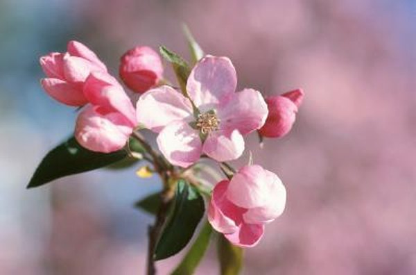 The kinds of apple trees with pink flowers home guides sf gate mightylinksfo