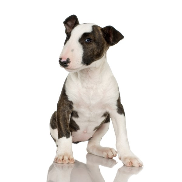 The bull terrier is one of several piebald dog breeds that exhibits varying degrees of hereditary deafness.