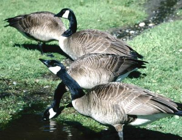 How to Tell the Difference Between Female & Male Canada Geese | Animals - mom.me