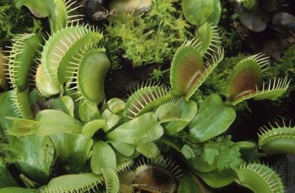 What Kind of Structure Does a Venus Flytrap Have?   Home Guides   SF ...