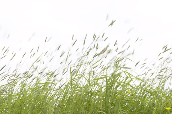 Tall grass blows in the wind.