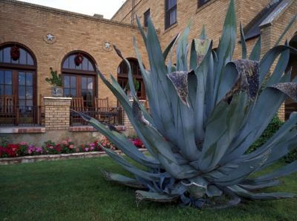 Agave Cactus Planting Home Guides Sf Gate