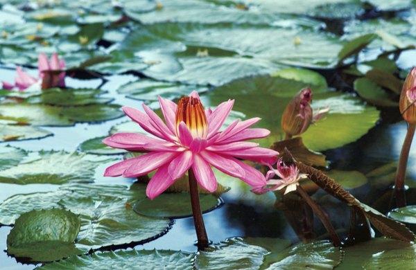 La flor que flota sobre las aguas es el lirio.