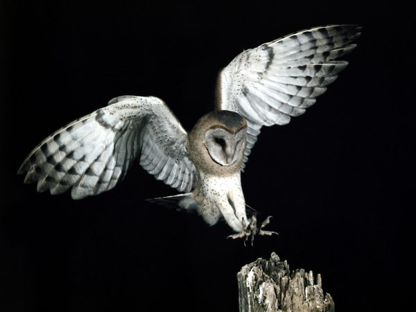 Barn owls have only one mate.