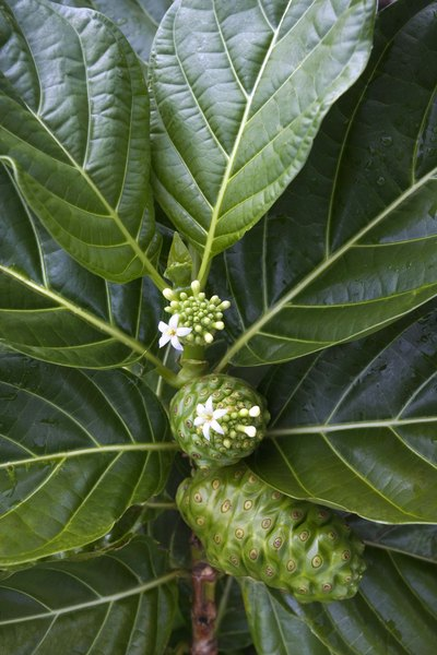 Noni juice has antioxidant and anticancer properties.