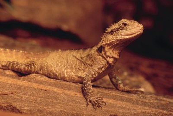 How to Save a Hungry & Dehydrated Lizard   Animals - mom me