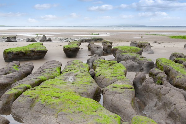 Moss growing on mud and clay beds on a beach.
