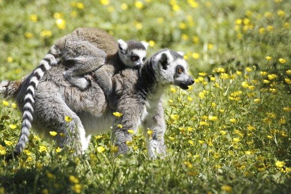 Os lêmures são um dos animais mais conhecidos de Madagascar
