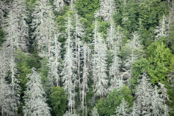 Many non-native diseases and pests have infiltrated temperate forests in the U.S.