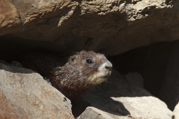 A marmot peeking out from the shadow of a rock.