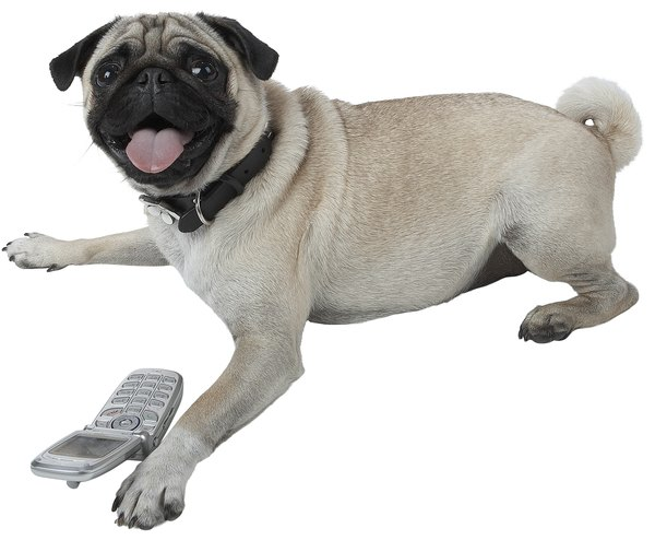 The pug's curly tail adds to his distinctive, clown-like appearance.