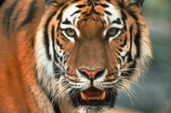 Bengal tigers top the food chain in the Sunderbans mangrove wilderness.