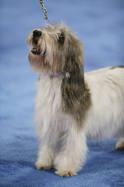 Petit basset griffon Vendeens are known for their long, rough coats.