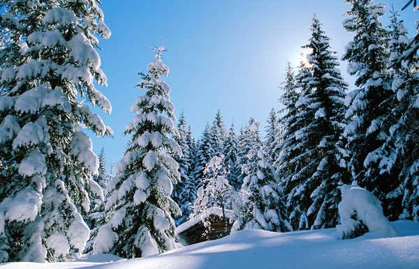 A snow covered forest.