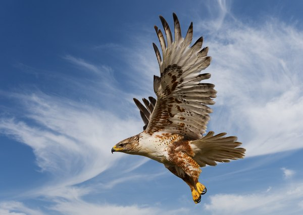 This Ferruginous Hawk is the largest of the Buteos hawks with a wingspan of up to 4 to 5 feet.