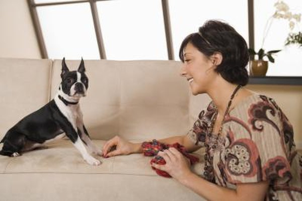 Inverted Sneezing in Boston Terriers - Pets