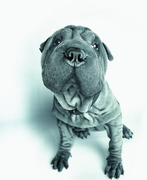 How Often Do You Bathe And Brush The Coat Of A Shar-Pei