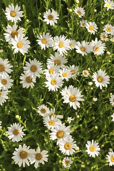 White flowers with yellow centers that grow in grass home guides english daisy mightylinksfo